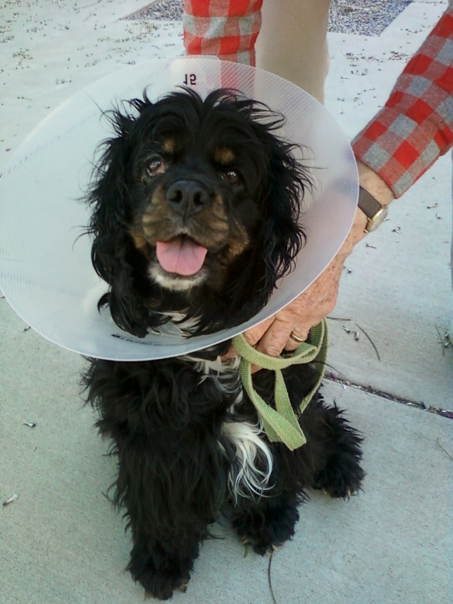 Don't let the cone fool you ... she's good at finding a way into your lap!