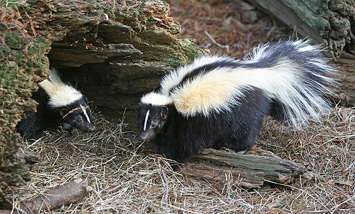 Skunk image by birdphotos.com (taken from Wikipedia)